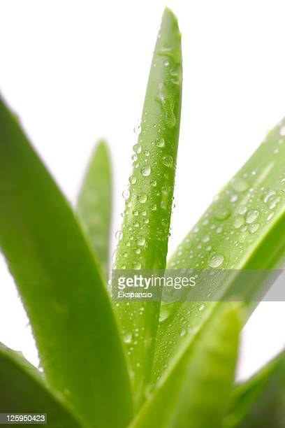 Green Aloe Vera Plant with Water Droplets on White Background