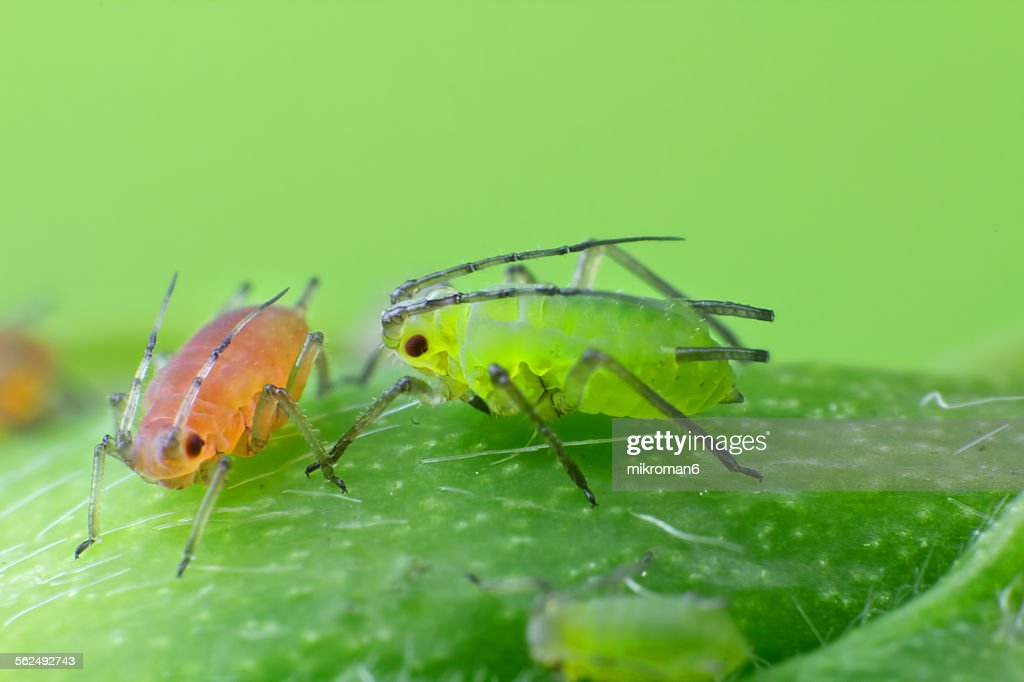 Green and red aphids