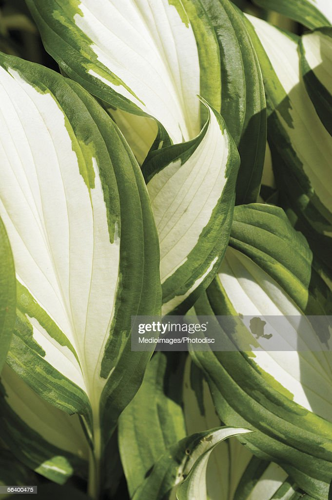 Green and white Hosta plant, close-up