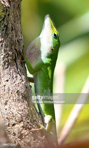 A green anole is seen in Hahajima Island on June 12 2006 in Ogasawara Tokyo Japan The anole is nonnative animal for Ogasawara Island may affect the...