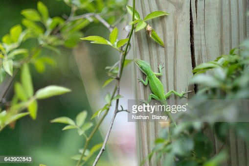 Green Anole : Stock Photo
