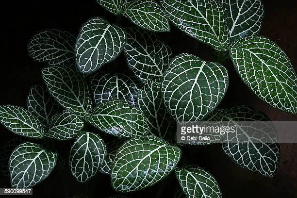 Green Aphelandra Leaves in Low Light