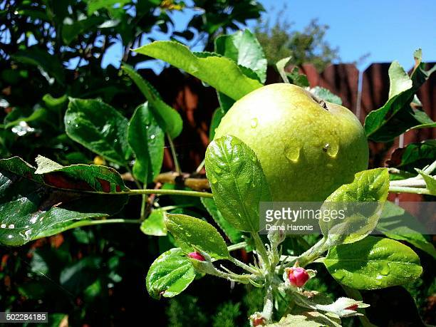 Green Apple in Backyard Garden