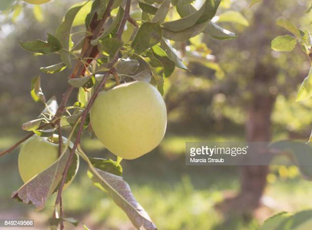 Green Apple on the Tree Branch
