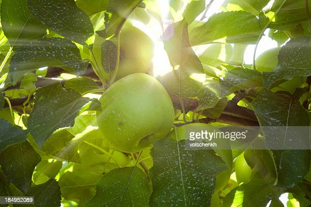 Green apples in the sunlight