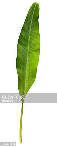 Green banana leaf, isoliert auf weiss Mit clipping path