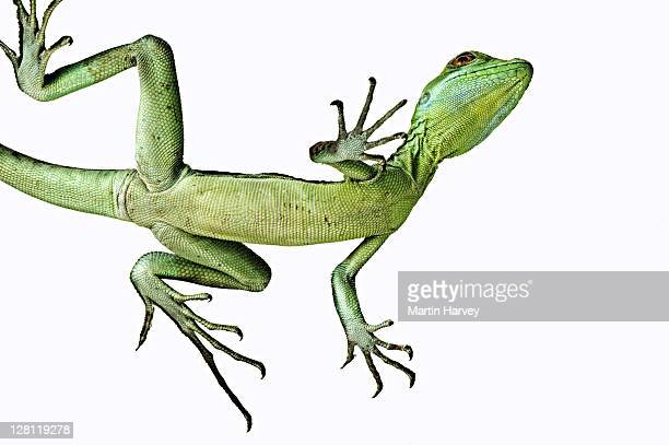 Green basilisk lizard (Basiliscus plumifrons). View from below showing long toes fringed with scales enable it to tread water surface. Dist. Central America.
