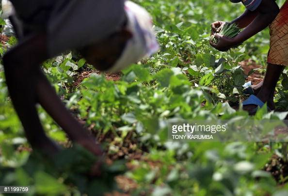 A green beans farmer harvests on May 16 2008 his crop in Kagio 90 kms northeast of Nairobi in Kenya's Central province district of Kirinyaga An...