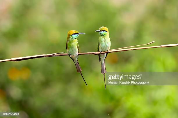 Green bee eater couple