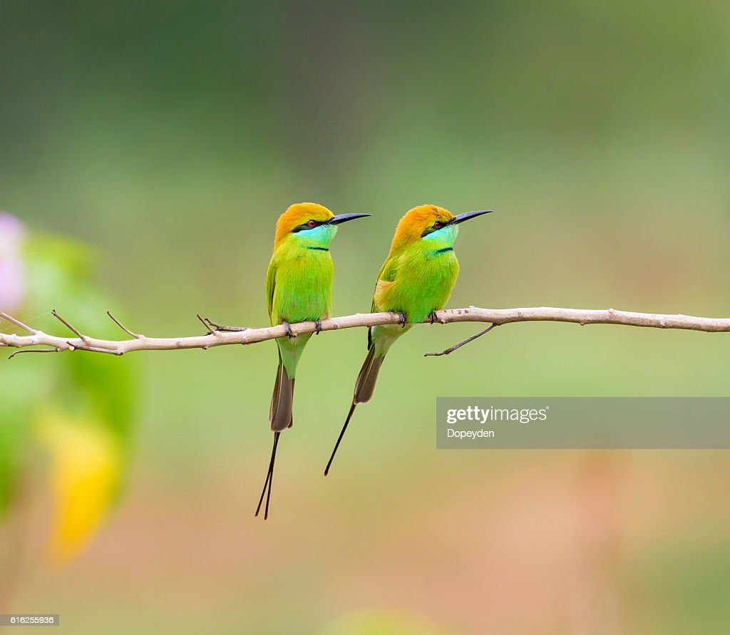 Verde Abelharuco : Foto de stock