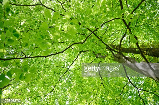 Green beech tree leaf canopy in spring