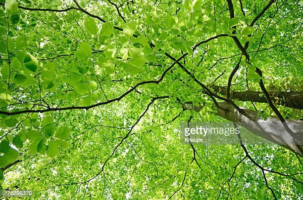 Green Buche Blatt canopy im Frühling