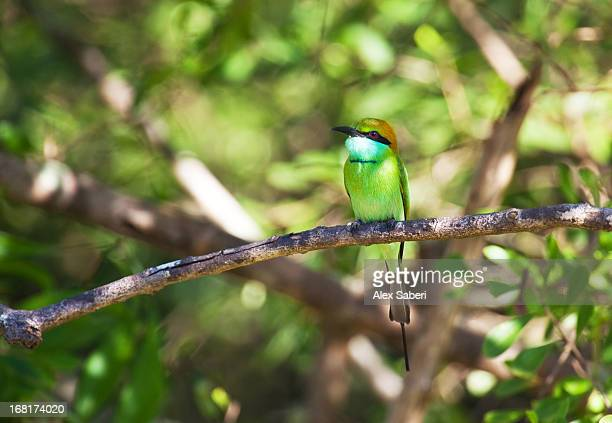 A green bee-eater perching on a branch in Yala National Park.