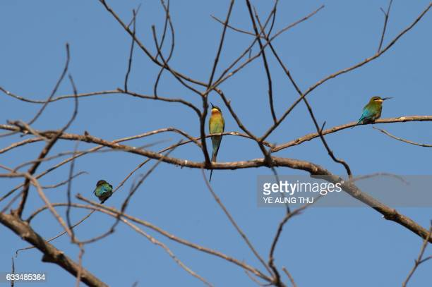 Green beeeaters sit on branches in the Moe Yun Gyi wetlands in Bago Division around 70 miles north of Yangon on February 2 2017 Myanmar marked...