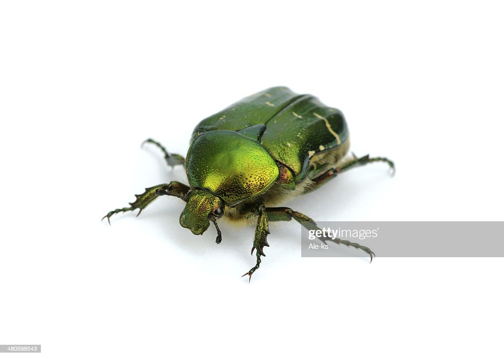 Green beetle : Stock Photo