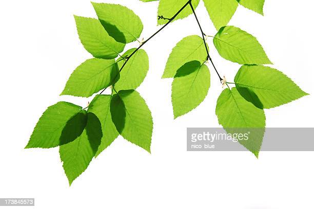 Green birch tree leaves isolated on white