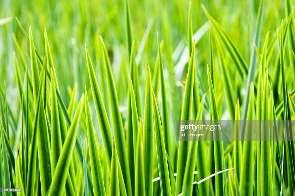 Green Blades of Grass