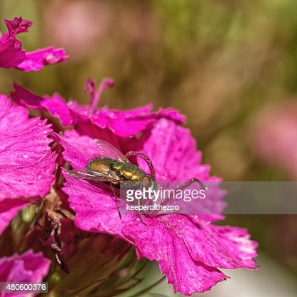 Green Bottle Fly on Pink Carnation : Stock Photo