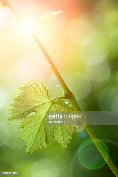 A green branch with one leaf and the sun shining behind it