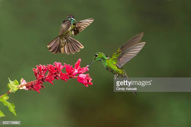 Green Brilliant Hummingbird feeding with another one hovering