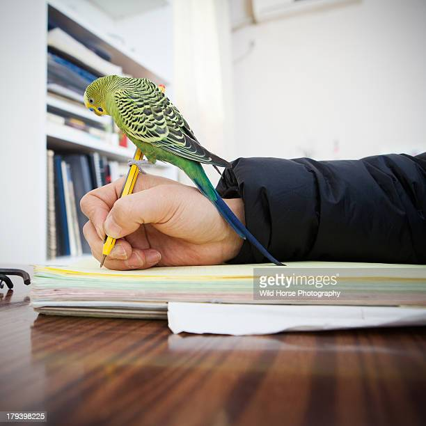 Green Budgerigar standing  on my pen