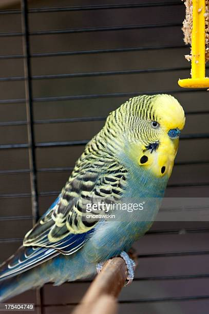 Green Budgie in a cage