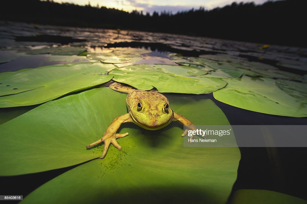 Green Bull frog sitting on lily pads at sunset : Stock Photo