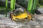American bullfrog, Rana castesbeiana, on log.