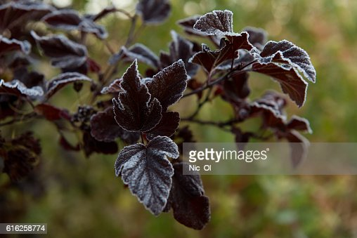 green Bush covered with frost in the garden : Foto de stock