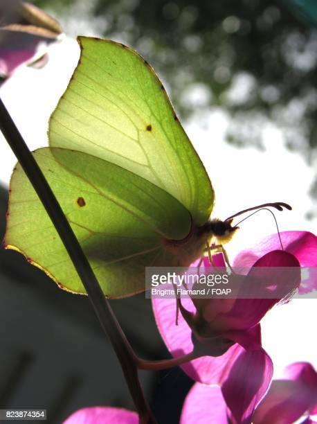 Green butterfly feeding on pink flower