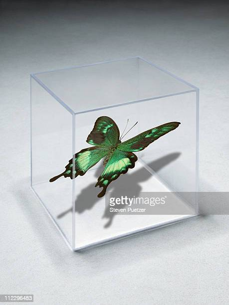 Green butterfly in clear box on concrete