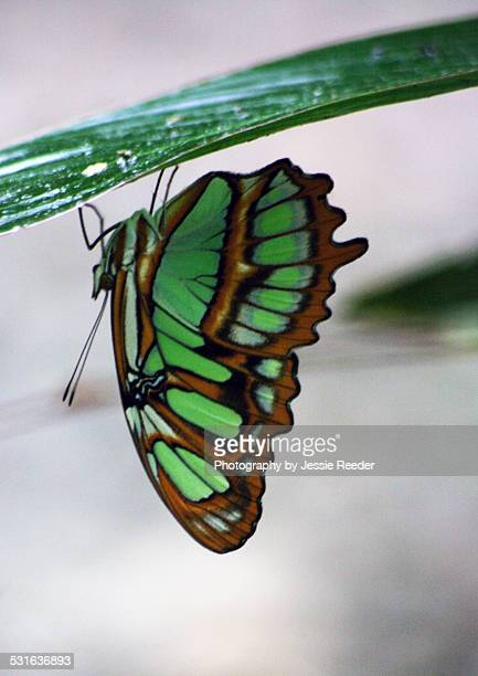 Green butterfly perched upside down on leaf