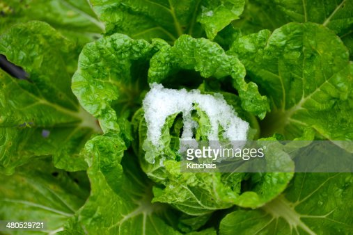 Green cabbage. : Stock Photo