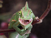 Green chameleon hunting. Portrait of an exotic animal. Macro
