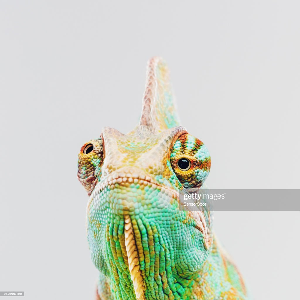 Green chameleon looking at camera : Stock Photo