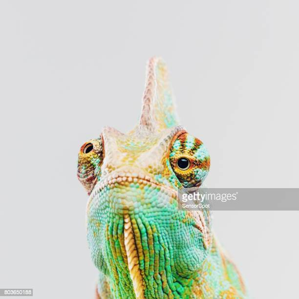 Green chameleon looking at camera