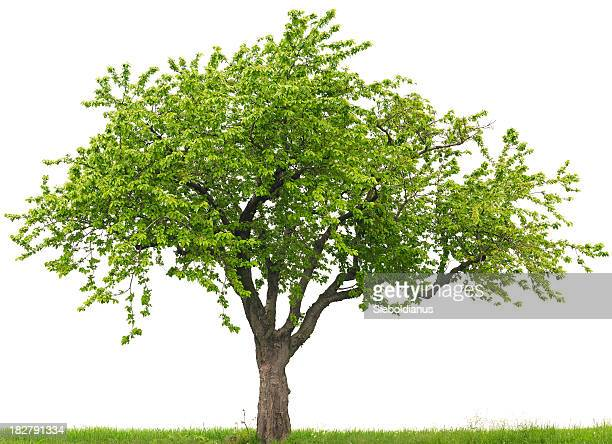 Green cherry tree or Prunus avium on grass field