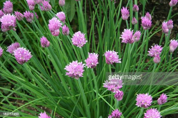 Green chives with pink flowers
