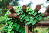 Green climbing plant on a wooden pergola stand. Sunny day. Public park.
