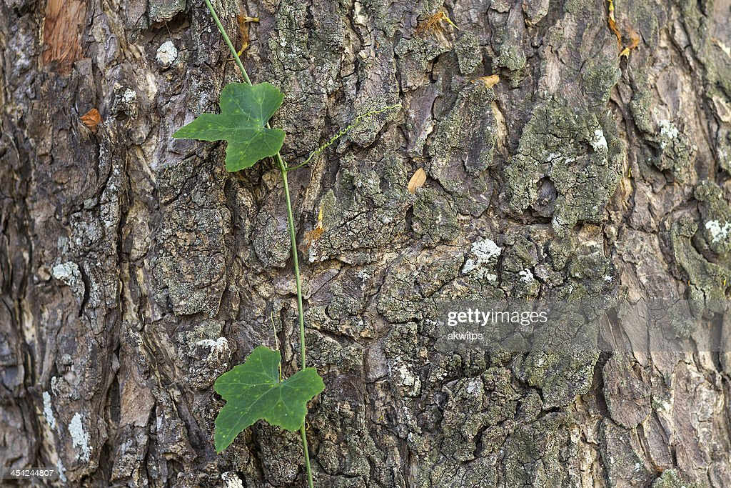 green Coccinia grandis with bark : Stock Photo