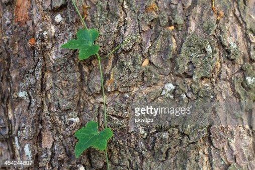 green Coccinia grandis with bark : Stock Photo