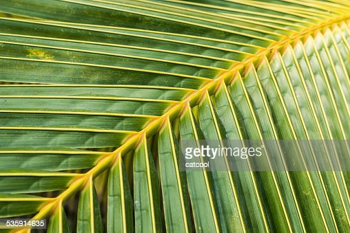 Green coconut leaves : Stock Photo