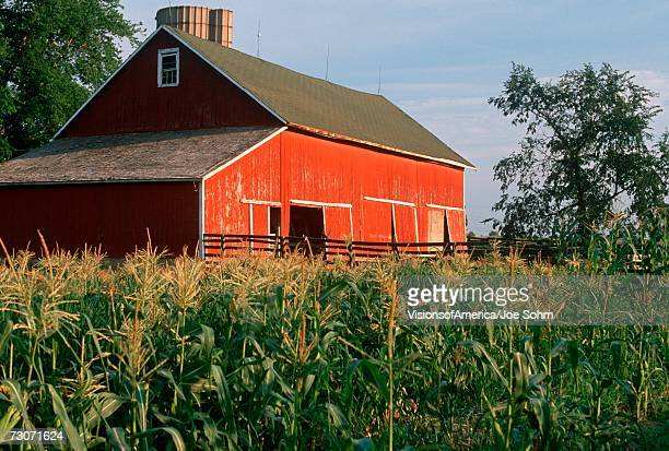 Green corn fields and red barn in Indiana