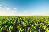 Green corn maize field in early stage