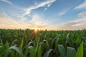 Corn - Crop, Plant, Crop, Field, Farm, sunrise