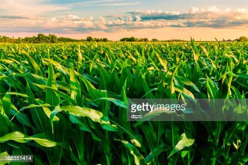 green cornfield prêt pour la récolte, la fin de l'après-midi de la lumière du soleil, dans l'Illinois
