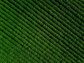 Green country field of potato with row lines, top view, aerial drone photo