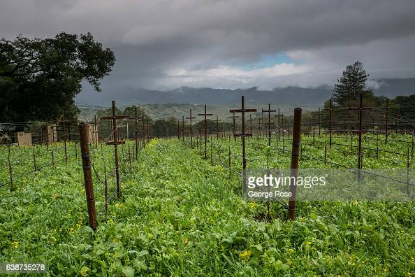 Green cover crops grow between the grapevines at Laurel Glen Vineyard on January 11 in Glen Ellen California Following a series of heavy January...