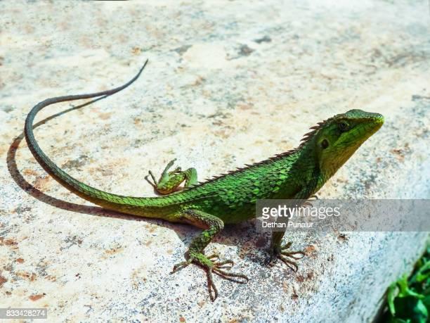 Green crested lizard 1