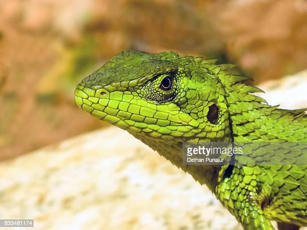 Green crested lizard portrait